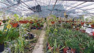 Đến nay khu vườn cótới hàng nghìn chậu lan trên diện tích hơn 3.000 m2.