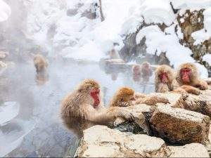 Khỉ tuyết, Nagano, Nhật Bản